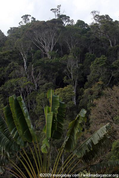 Perinet rainforest
