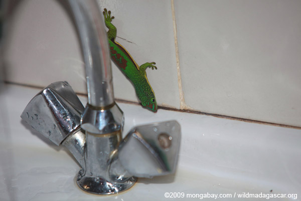 Lined Day Gecko (Phelsuma lineata) in the bathroom drinking from a sink faucet