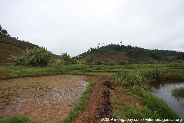 Rice fields and clearing for agriculture near Mantadia