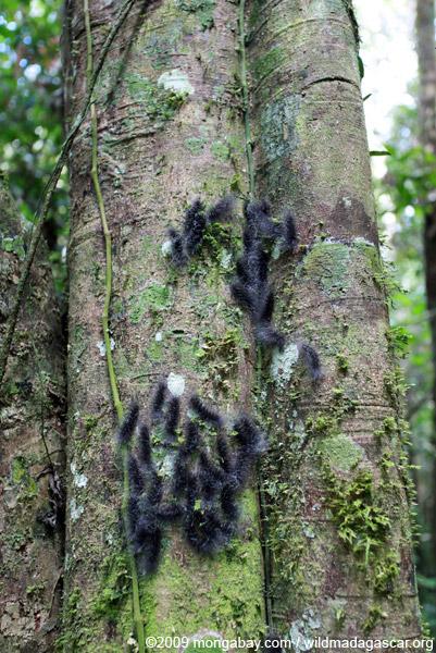 Hairy black caterpillars