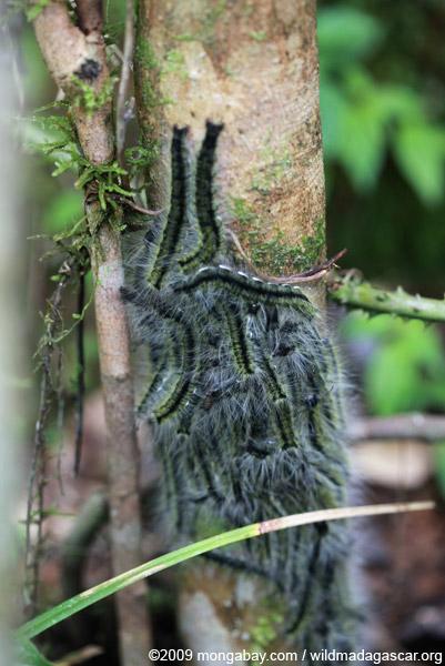 Mass of yellow, black and white caterpillars