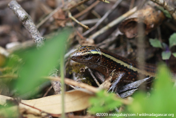 Plated lizard (Zonosaurus madagascariensis)