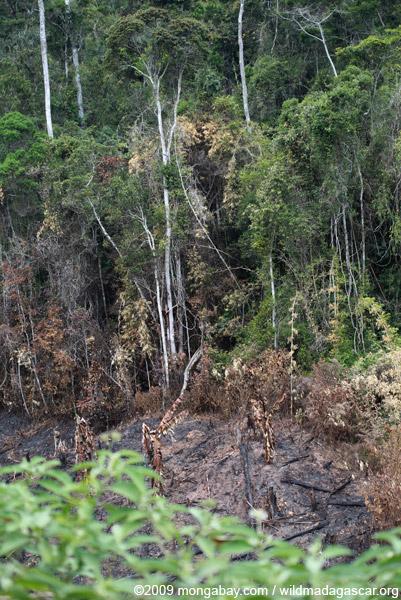 Slash-and-burn near Mantandia