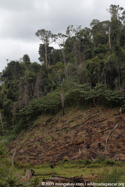 Cassava planted in a forest clearing in Madagascar