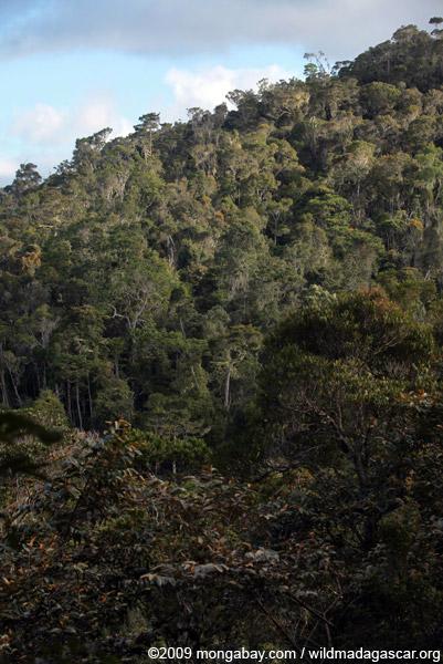 Mantadia jungle