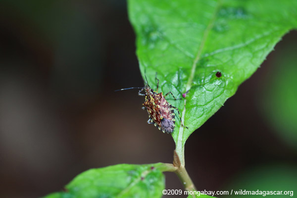 Multi-colored shield bug
