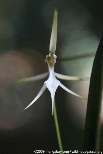 Jumellea sp. Orchid