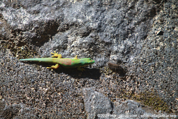 Day gecko attempting to eat a toxic caterpillar