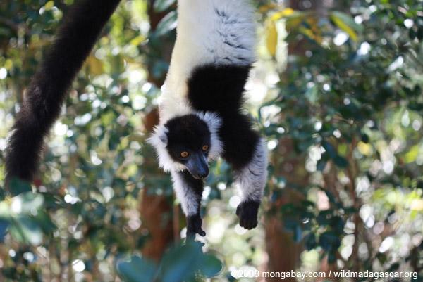 Les lémuriens à collier blanc et noir sont aussi une cible. Photo de Rhett A. Butler.