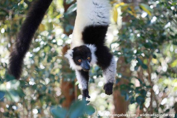 Un vari maki noir et blanc (Varecia variegata) se nourrissant sur un tamarinier à Madagascar. Leur population a chuté de 80% en 27 ans. Cette espèce est aussi répertoriée comme étant en danger critique. Photo de Rhett A. Butler.