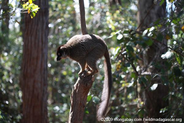 Common Brown Lemur (Eulemur fulvus)