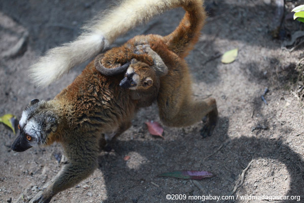 Female Common Brown Lemur (Eulemur fulvus) with baby