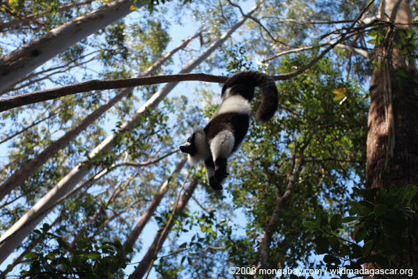 Black-and-white ruffed lemur hanging in a tree. Photo by: Rhett A. Butler.