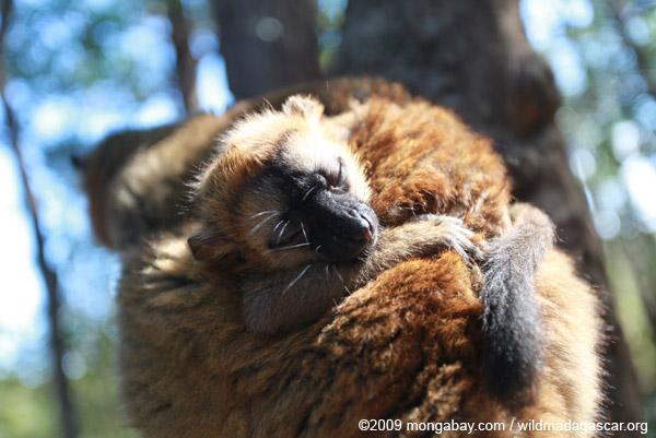 Baby brown lemur