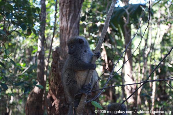 Gray Bamboo Lemur (Hapalemur griseus)