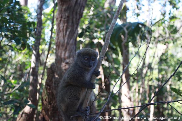 Eastern Lesser Bamboo Lemur (Hapalemur griseus)