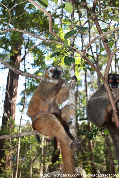 Male Common Brown Lemur (Eulemur fulvus)