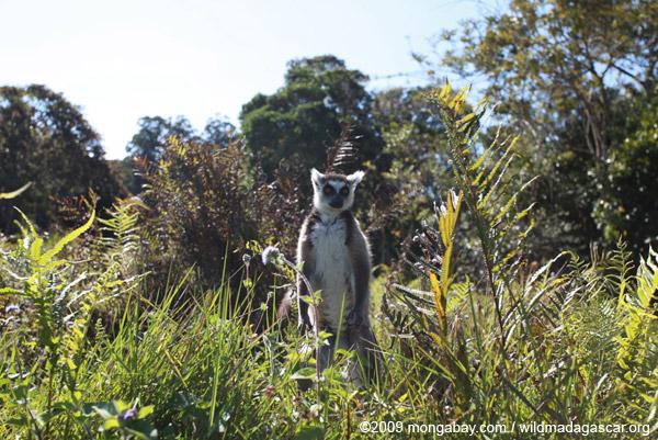 Ring-tailed lemur (Lemur catta) standing on its hind legs