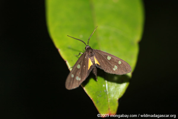 Dark gray moth with yellow markings and blue-green spots
