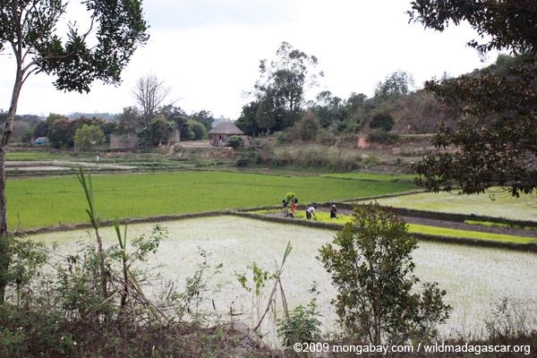 Planting rice in Madagascar