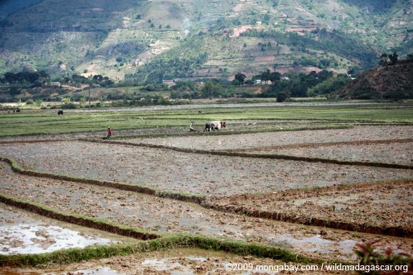 Working rice fields in Madagascar