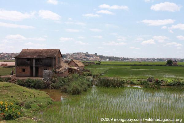 Rice fields of Tana