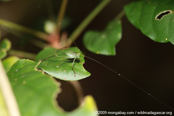 Katydid with enormously long antennae