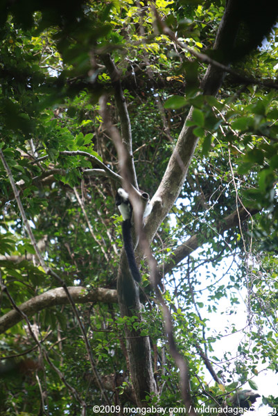 Black-and-white Ruffed Lemur high in the canopy on Nosy Mangabe
