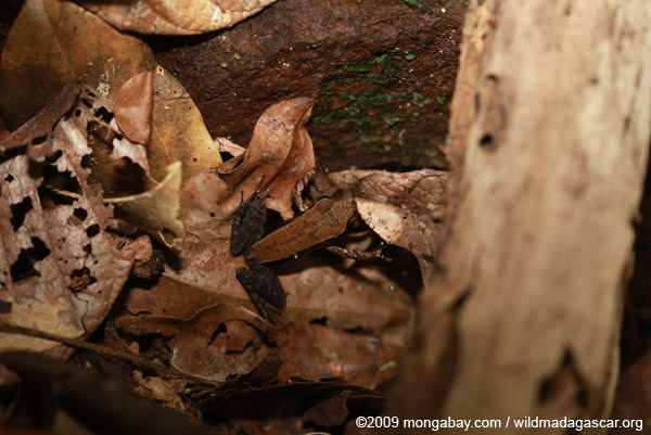 Mantidactylus melanopleura