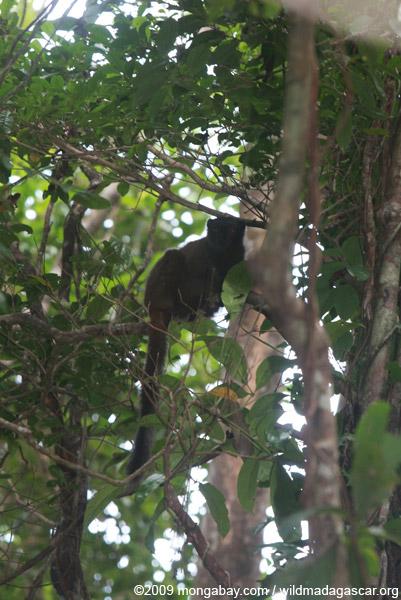Female White-Fronted Brown Lemur (Eulemur albifrons)