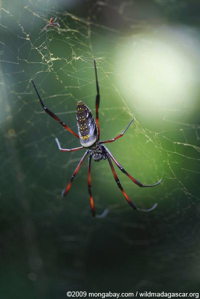 Nephila madagascariensis orb spider