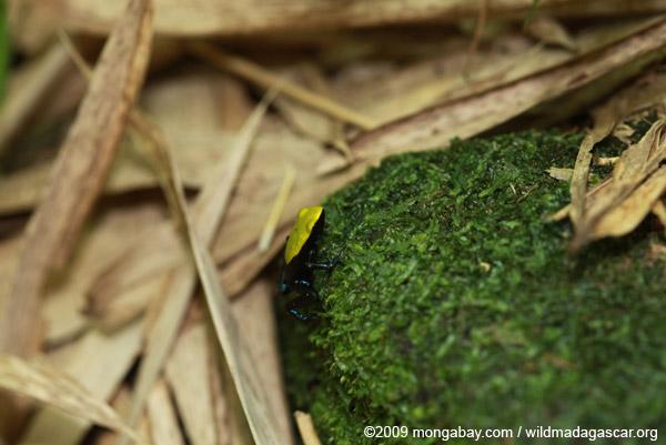 Green-backed mantella frog (Mantella laevigata)