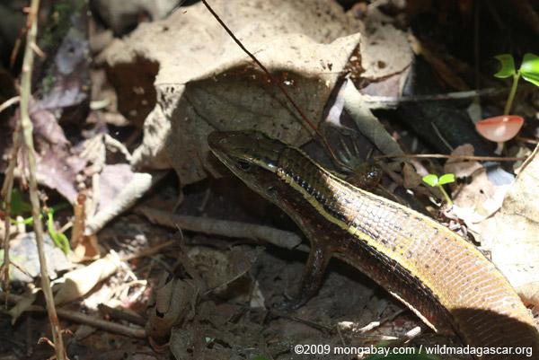 Madagascar plated lizard (Zonosaurus madagascariensis)