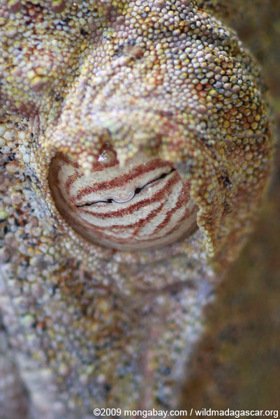 Close up on the eye of the Giant Leaf-tail Gecko (Uroplatus fimbriatus)