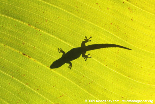 Silhouette of a gecko on a sunlit leaf