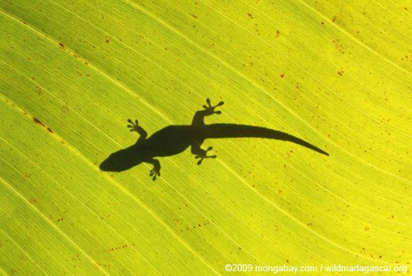 Silhouette of a lizard on a sunlit leaf