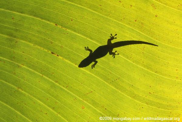 Outline of a gecko