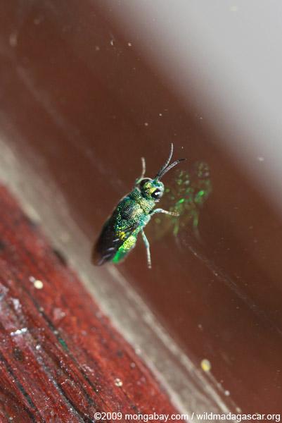 Green wasp (possibly Chrysididae family)