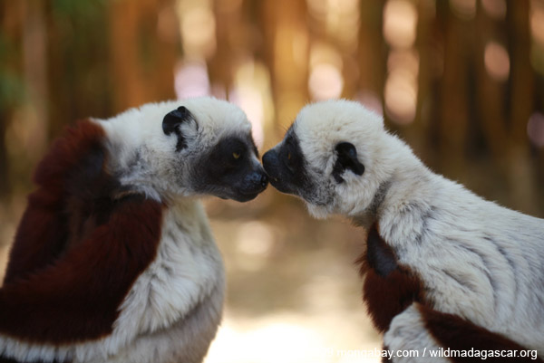 Coquerel's sifakas grooming