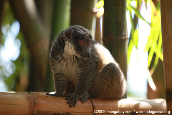 Mongoose Lemur (Eulemur mongoz)