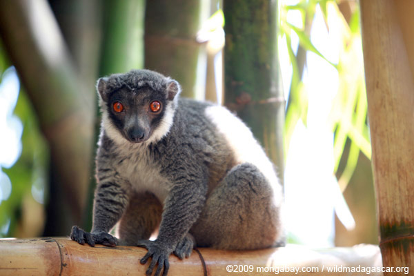 The mongoose lemur (Eulemur mongoz) is listed as Vulnerable by the IUCN Red List. Photo by: Rhett A. Butler.