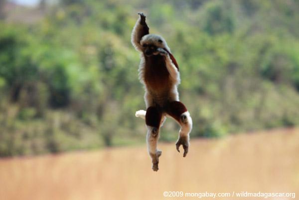 Coquerel's Sifaka 'dancing'