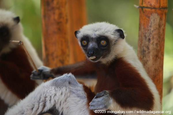 Coquerel's Sifaka eating leaves