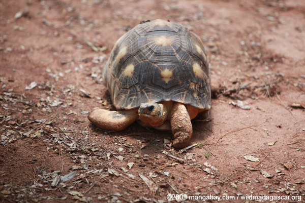 Radiated tortoise in Madagascar. Photo by: Rhett A. Butler.