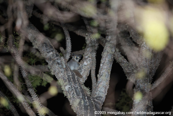 White-footed Sportive Lemur (Lepilemur leucopus) in a spiny Didiereaceae family tree