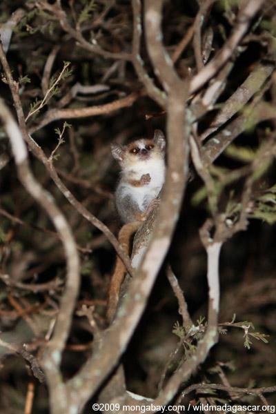 Gray Mouse Lemur (Microcebus murinus)