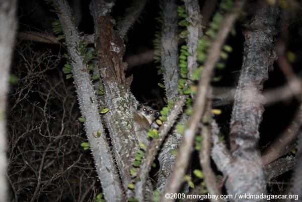 White-footed Sportive Lemur (Lepilemur leucopus) in a spiny Alluaudia procera plant