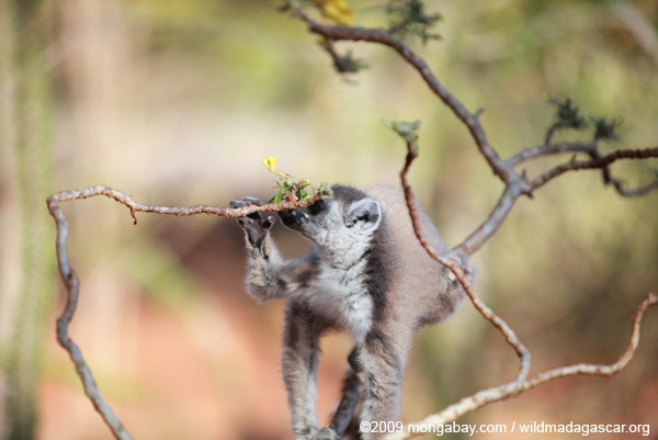 Ring-tailed lemur feeding on flowers