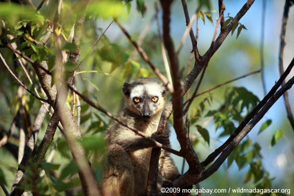 Red-fronted brown lemur (Eulemur rufus)