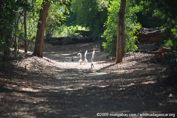 Ring-tailed lemurs in gallery forest